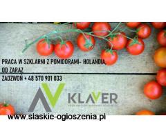 Praca od zaraz, szklarnia z pomidorami, Holandia (Westland)