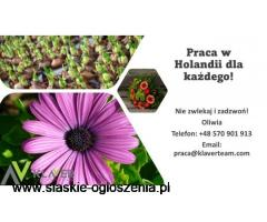 Przyjemna praca przy kwiatach w Holandii od zaraz